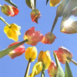 Tulpen_Gabi4-nochmalbitte.jpg