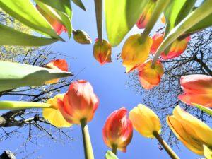 Tulpen_Gabi5.jpeg